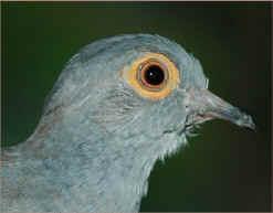Diamond Dove Home Page Aquiring Diamond Doves