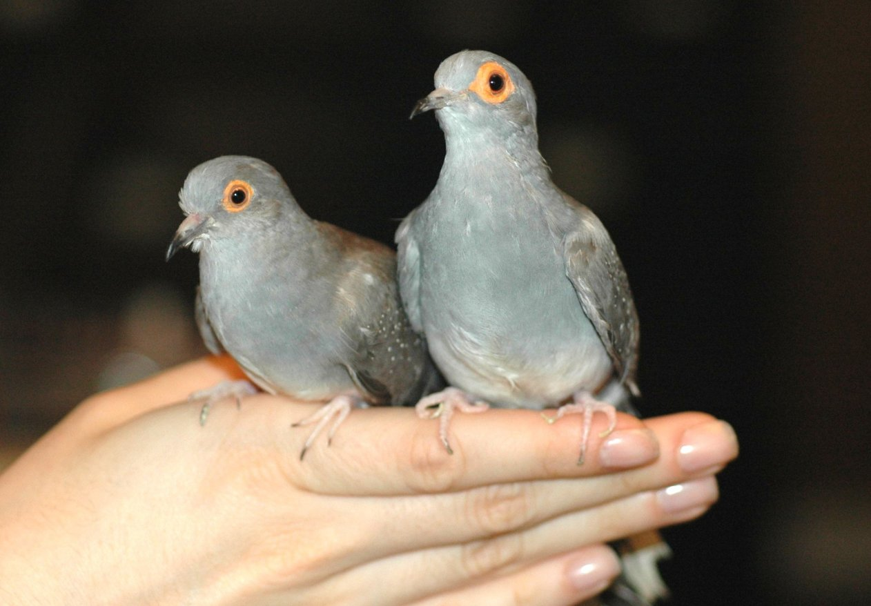Diamond Dove Home Page Living With Doves