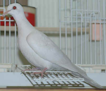 Ringneck Doves Diamond Dove Home Page