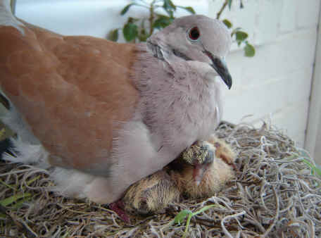 Ringneck Doves - Diamond Dove Home Page